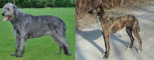 Irish Wolfhound vs American Staghound