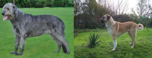 Irish Wolfhound vs Anatolian Shepherd