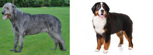 Irish Wolfhound vs Bernese Mountain Dog