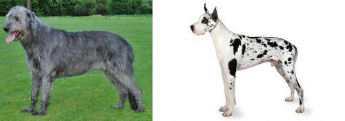 Irish Wolfhound vs Great Dane