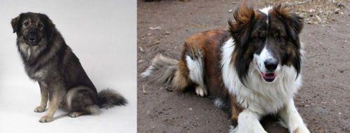 Istrian Sheepdog vs Aidi