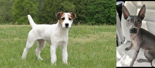 Jack Russell Terrier vs American Hairless Terrier