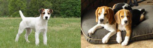 Jack Russell Terrier vs Beagle