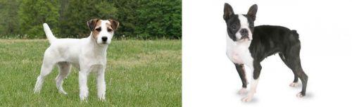 Jack Russell Terrier vs Boston Terrier