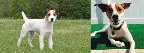 Jack Russell Terrier vs Feist