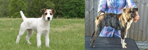 Jack Russell Terrier vs Fruggle