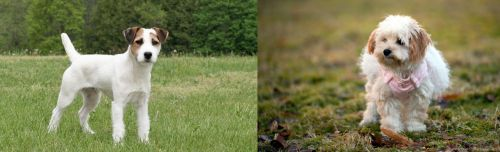 Jack Russell Terrier vs West Highland White Terrier