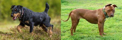 Jagdterrier vs American Pit Bull Terrier