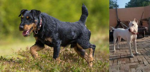 Jagdterrier vs Indian Bull Terrier
