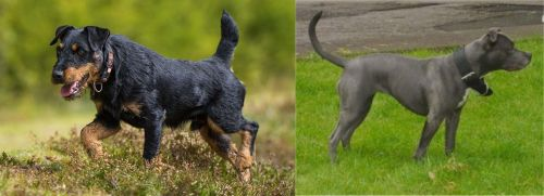 Jagdterrier vs Irish Bull Terrier