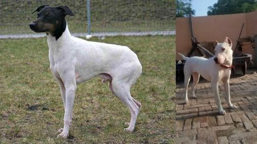 Japanese Terrier vs Indian Bull Terrier