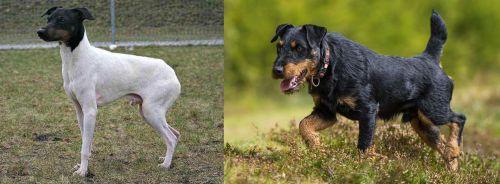 Japanese Terrier vs Jagdterrier