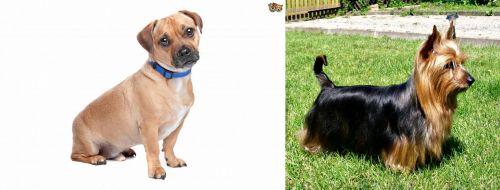 Jug vs Australian Silky Terrier