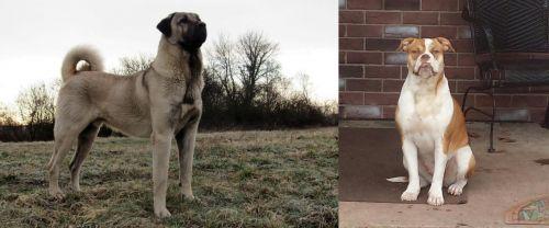 Kangal Dog vs Alapaha Blue Blood Bulldog