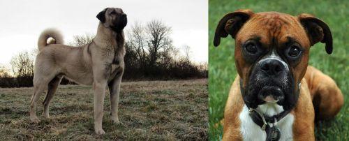 Kangal Dog vs Boxer