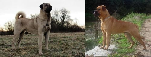 Kangal Dog vs Bullmastiff