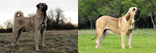 Kangal Dog vs Fila Brasileiro