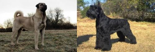 Kangal Dog vs Giant Schnauzer