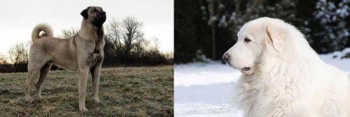 Kangal Dog vs Great Pyrenees