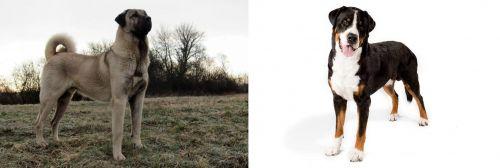 Kangal Dog vs Greater Swiss Mountain Dog
