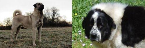 Kangal Dog vs Greek Sheepdog