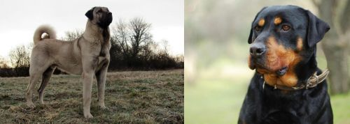 Kangal Dog vs Rottweiler