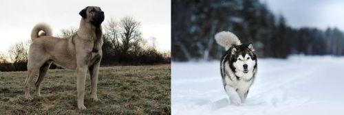 Kangal Dog vs Siberian Husky
