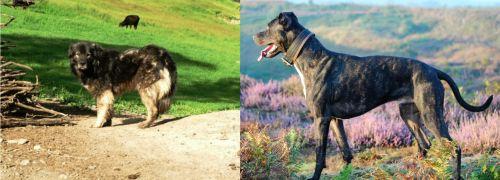 Kars Dog vs Alaunt
