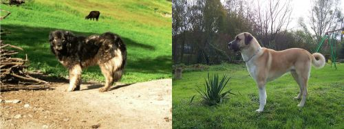 Kars Dog vs Anatolian Shepherd