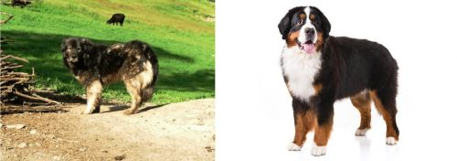 Kars Dog vs Bernese Mountain Dog