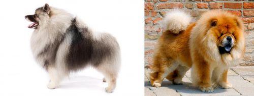 Keeshond vs Chow Chow