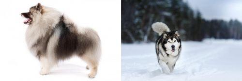 Keeshond vs Siberian Husky