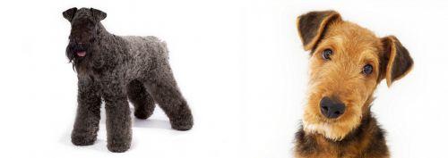 Kerry Blue Terrier vs Airedale Terrier
