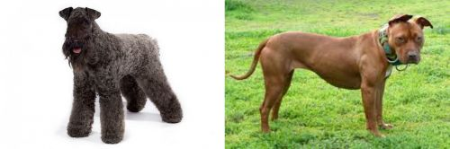 Kerry Blue Terrier vs American Pit Bull Terrier