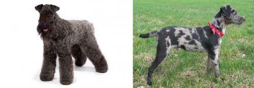 Kerry Blue Terrier vs Atlas Terrier