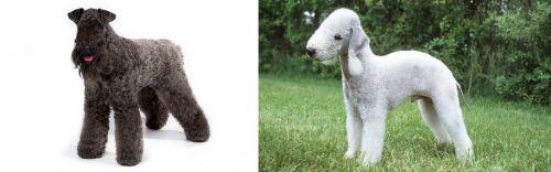 Kerry Blue Terrier vs Bedlington Terrier