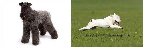 Kerry Blue Terrier vs Bull Terrier