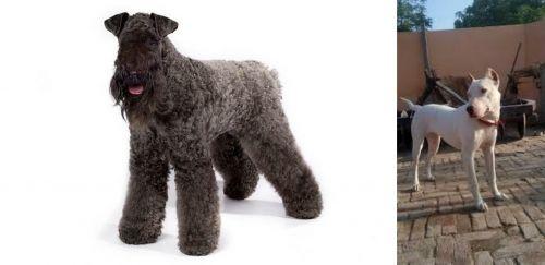 Kerry Blue Terrier vs Indian Bull Terrier