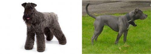 Kerry Blue Terrier vs Irish Bull Terrier