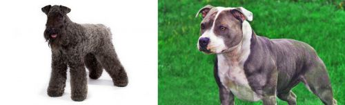 Kerry Blue Terrier vs Irish Staffordshire Bull Terrier