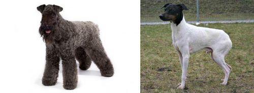 Kerry Blue Terrier vs Japanese Terrier