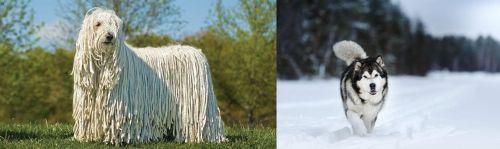 Komondor vs Siberian Husky