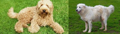 Labradoodle vs Abruzzenhund