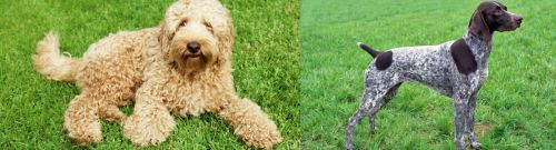 Labradoodle vs German Shorthaired Pointer