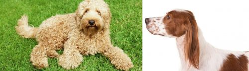 Labradoodle vs Irish Red and White Setter
