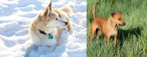 Labrador Husky vs Africanis