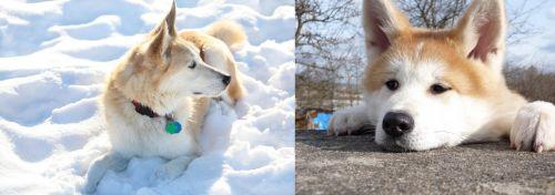 Labrador Husky vs Akita