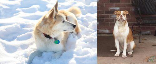 Labrador Husky vs Alapaha Blue Blood Bulldog