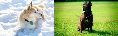 Labrador Husky vs Bandog