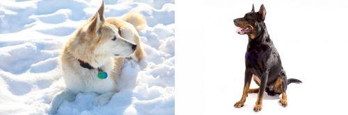 Labrador Husky vs Beauceron
